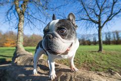 French bulldog into the wild. Wide angle Stock Photo