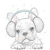 French Bulldog in winter headphones. Cute puppy. Pedigree dog. Winter Stock Photo
