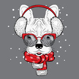 French Bulldog in winter headphones. Cute puppy. Pedigree dog. Winter Royalty Free Stock Photo