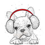 French Bulldog in winter headphones.  Print on clothes. Cute puppy. Pedigree dog. Winter Royalty Free Stock Image