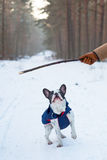 French bulldog in winter jacket Royalty Free Stock Image