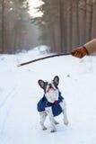 French bulldog in winter jacket Royalty Free Stock Image