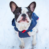 French bulldog in winter jacket Royalty Free Stock Photos