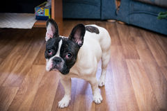 French bulldog. On wooden floor indoors royalty free stock photos