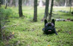 French bulldog in the woods royalty free stock image
