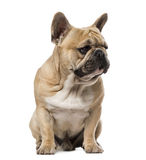 French Bulldog (1,5 year old) Stock Photos