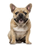 French Bulldog (1,5 year old) Royalty Free Stock Photography