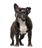 French Bulldog (7 years old) Royalty Free Stock Image