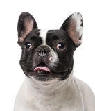 French Bulldog (2 years old) Stock Image