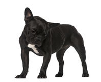 French Bulldog (6 years old) Royalty Free Stock Photos