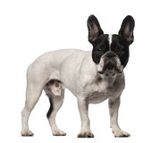 French Bulldog (3 years old) Royalty Free Stock Photo