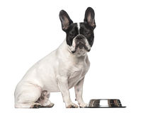 French Bulldog (3 years old) Royalty Free Stock Image