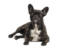 French bulldog (4 years old) Stock Image