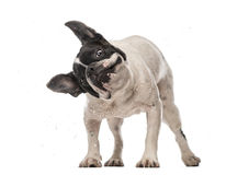 French Bulldog (3 years old) shaking Royalty Free Stock Photo