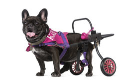 French Bulldog (7 years old) in a wheelchair Stock Photography