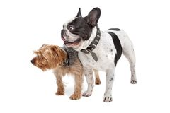 French Bulldog and a Yorkshire Terrier Stock Photo