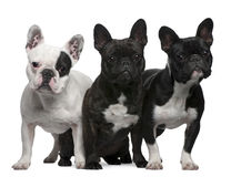 French Bulldogs, 11 months old, 3 and 6 years old, Royalty Free Stock Images