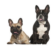 French bulldogs, 18 months old, sitting Stock Images