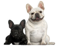 French Bulldogs, 2 years old Royalty Free Stock Images