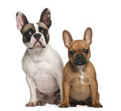 French bulldogs, 2 years old, sitting Royalty Free Stock Photos