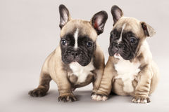 French bulldogs Stock Images