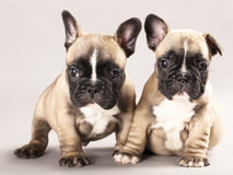 French bulldogs. Puppy 1 monts Royalty Free Stock Images
