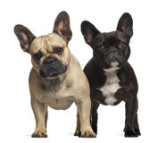 French bulldogs, 3 years old, standing Royalty Free Stock Photos