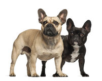 French bulldogs, 3 years old, standing Stock Photo