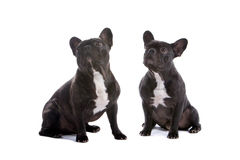 French Bulldogs Stock Photography