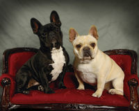 French Bulldogs Stock Photos