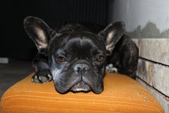 French Bulldogs, chill. Image of French Bulldogs, chill royalty free stock photography