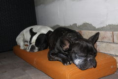French Bulldogs, chill. Image of French Bulldogs, chill royalty free stock image