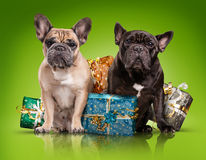 French bulldogs with christmas gifts Royalty Free Stock Photography