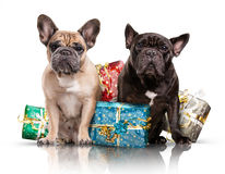 French bulldogs with christmas gifts Royalty Free Stock Image