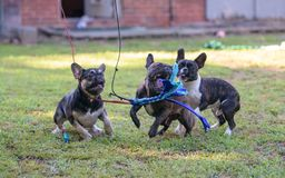 French bulldogs and a flirt pole. Three French bulldogs playing in the grass with a flirt pole royalty free stock photography