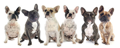 French bulldogs Royalty Free Stock Photos