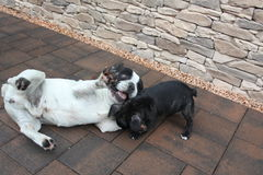 French Bulldogs, game time. Image of French Bulldogs, game time royalty free stock photography