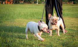 French bulldogs animal. French bulldogs in green nature background royalty free stock images