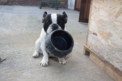 Free French Bulldogs, Hungry Stock Photography - 96323682