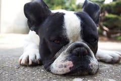 French Bulldogs, i am sleepy. Image of French Bulldogs, i am sleepy royalty free stock photography