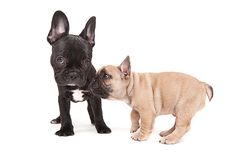 French bulldogs isolated over white background Royalty Free Stock Photos