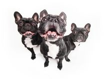 French bulldogs isolated over white background Royalty Free Stock Image