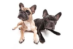 French bulldogs isolated over white background Royalty Free Stock Photography
