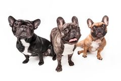 French bulldogs isolated over white background Stock Images