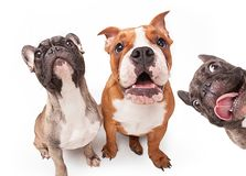 French bulldogs isolated over white background Stock Photos