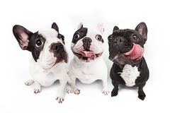 French bulldogs isolated over white background Stock Photography