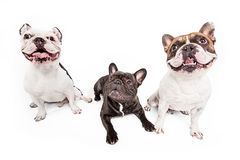 French bulldogs isolated over white background Royalty Free Stock Images