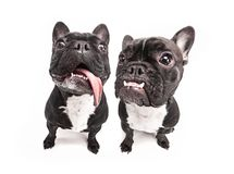 French bulldogs isolated over white background Royalty Free Stock Photo