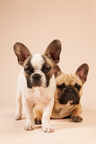 French bulldogs laying on beige background Royalty Free Stock Images