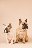 French bulldogs laying on beige background Stock Photography